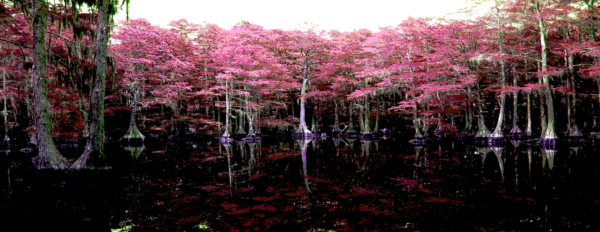 Cypress Chorus
