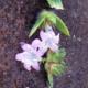 Lilac Divine